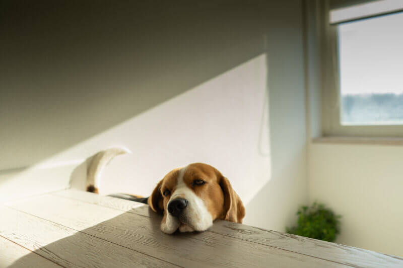 smutny pies położył głowę na stole