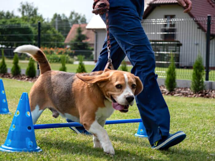 Pies na torze przeszkód