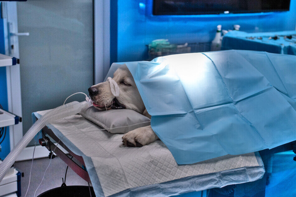 Pies pod narkozą