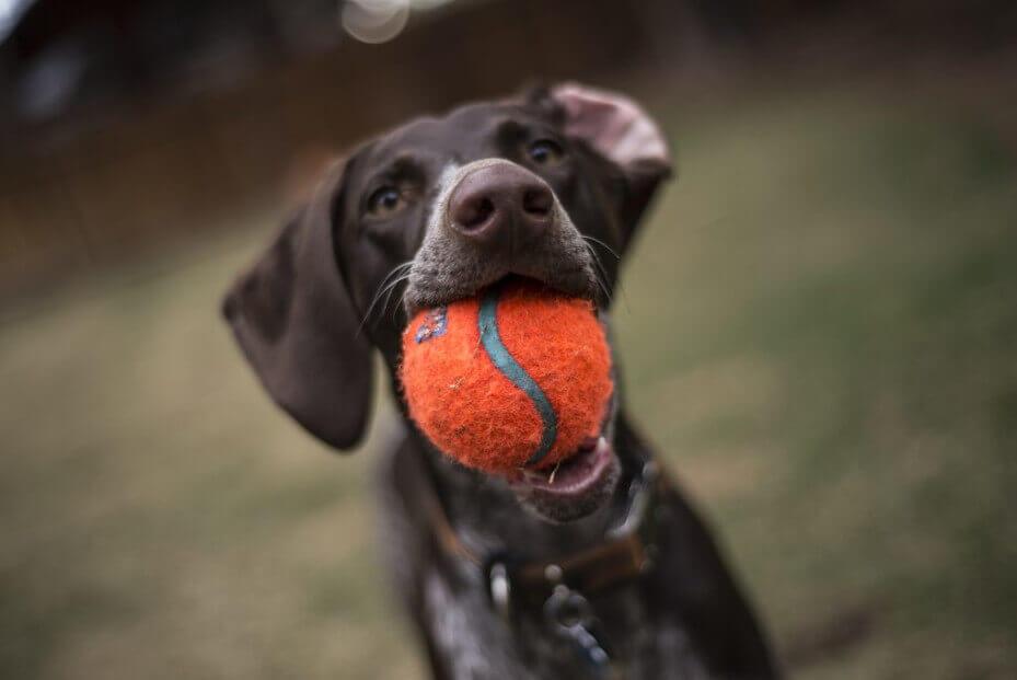 Pies trzyma w pysku piłkę